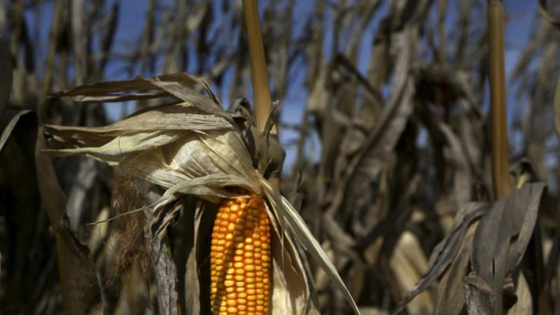 Letter: Climate change could cripple Missouri's corn production