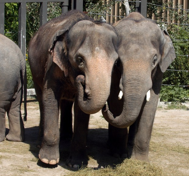 St Louis Zoo continues to breed elephants despite protests