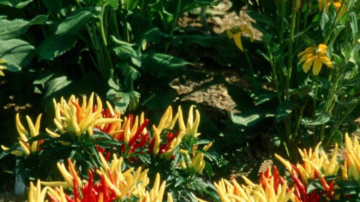 Ornamental peppers aren't exactly edible