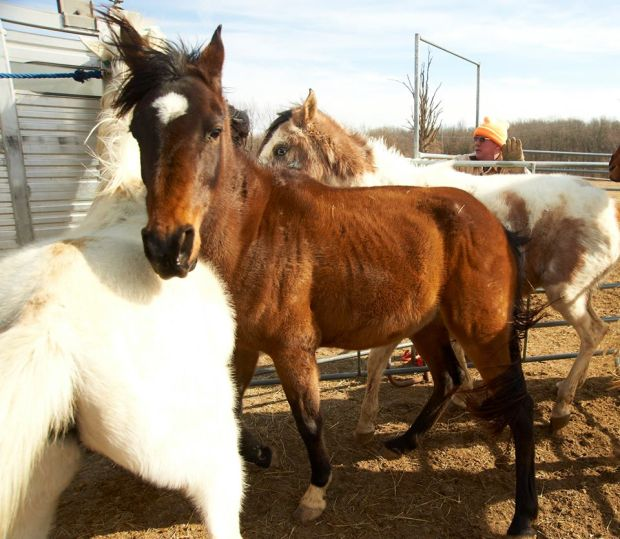 starving horses rescued from a farm in laclede county mo