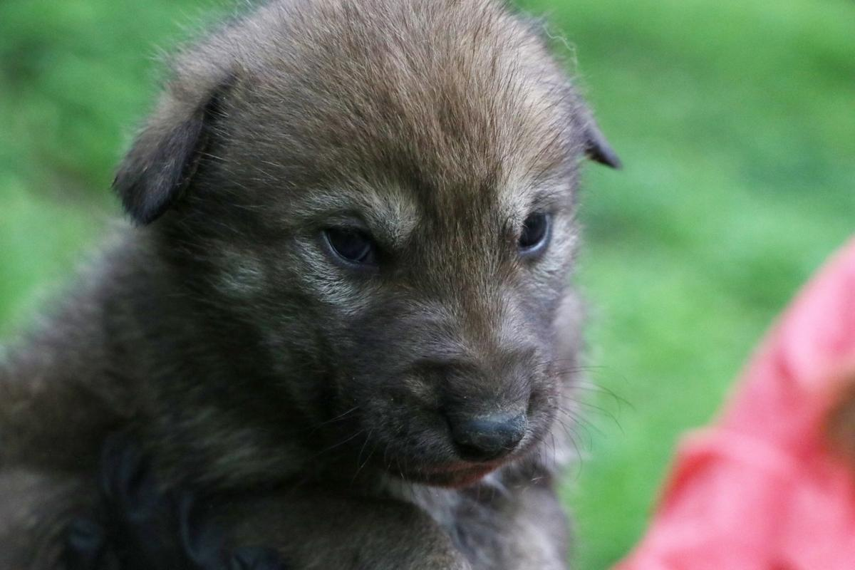Gloria the American red wolf