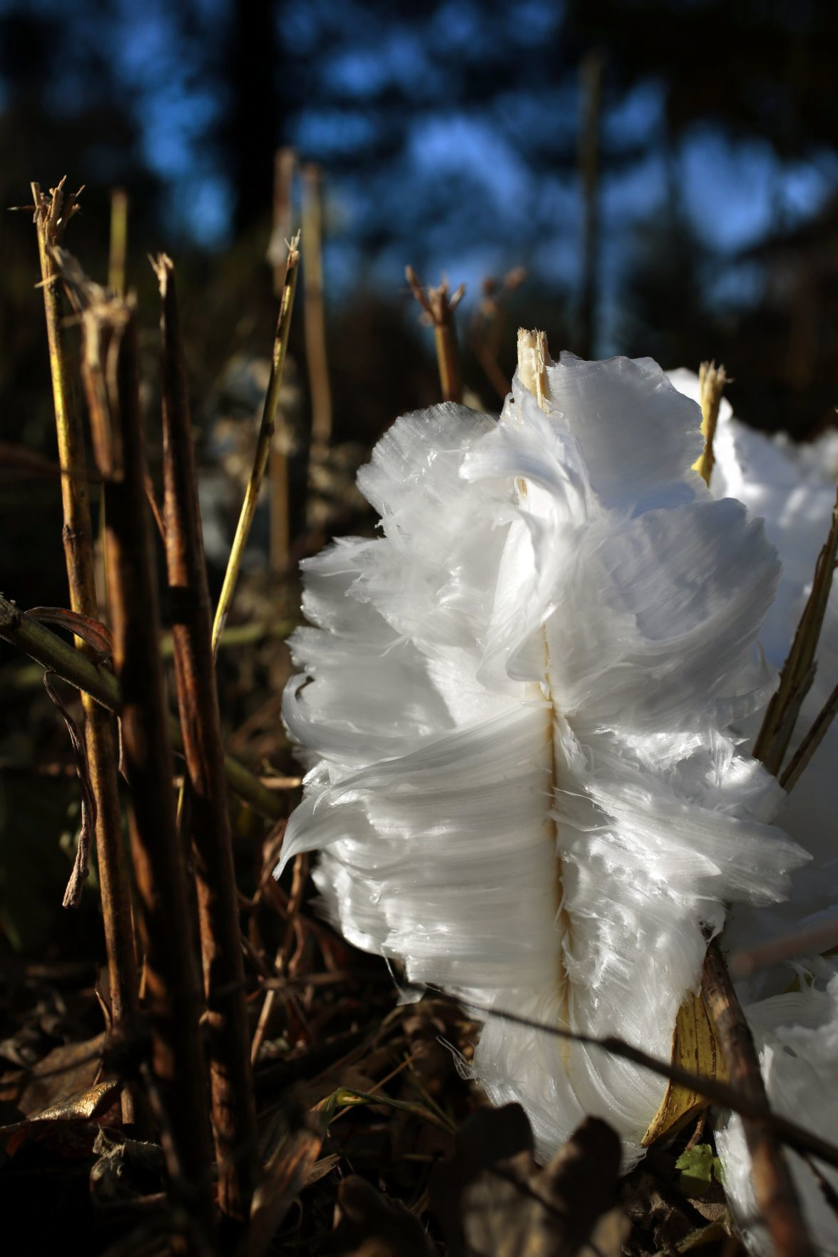 Missouri S Ephemeral Ice Flowers Emerge This Time Of Year Spot