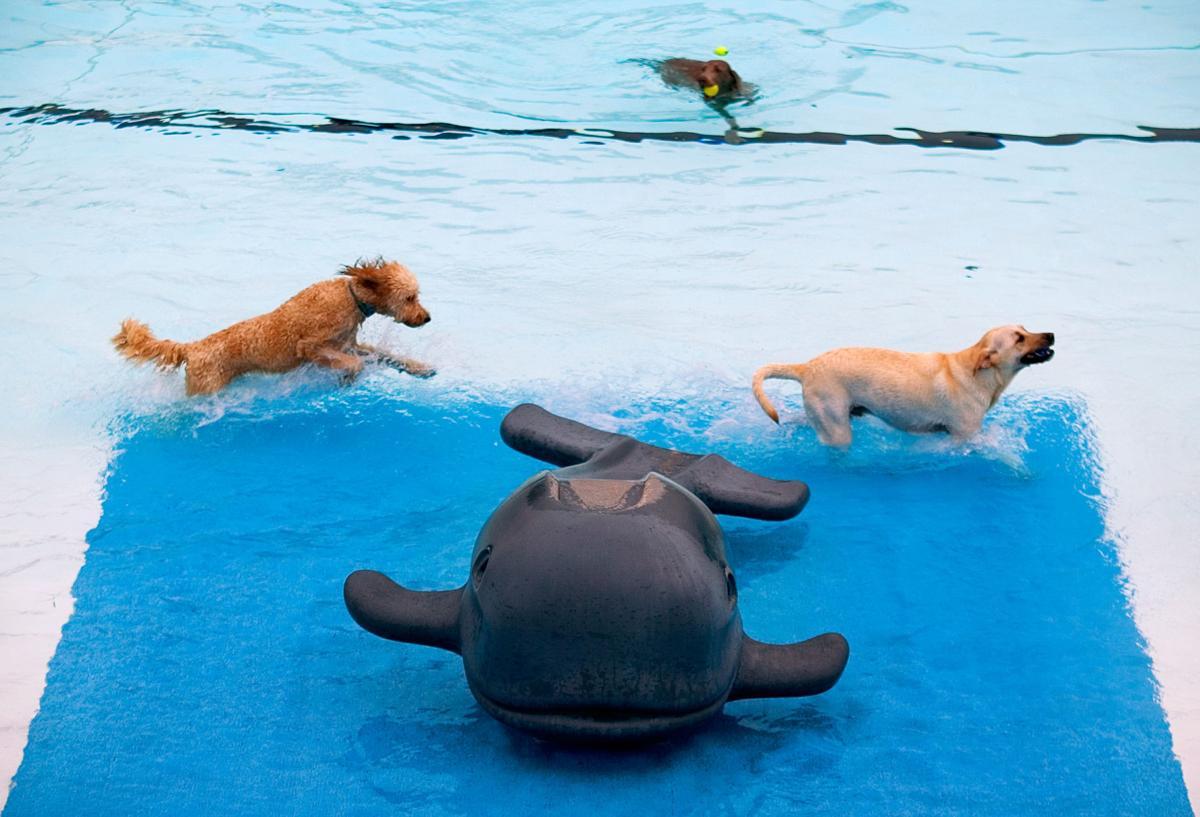 Dogs swim in Maplewood, 2008