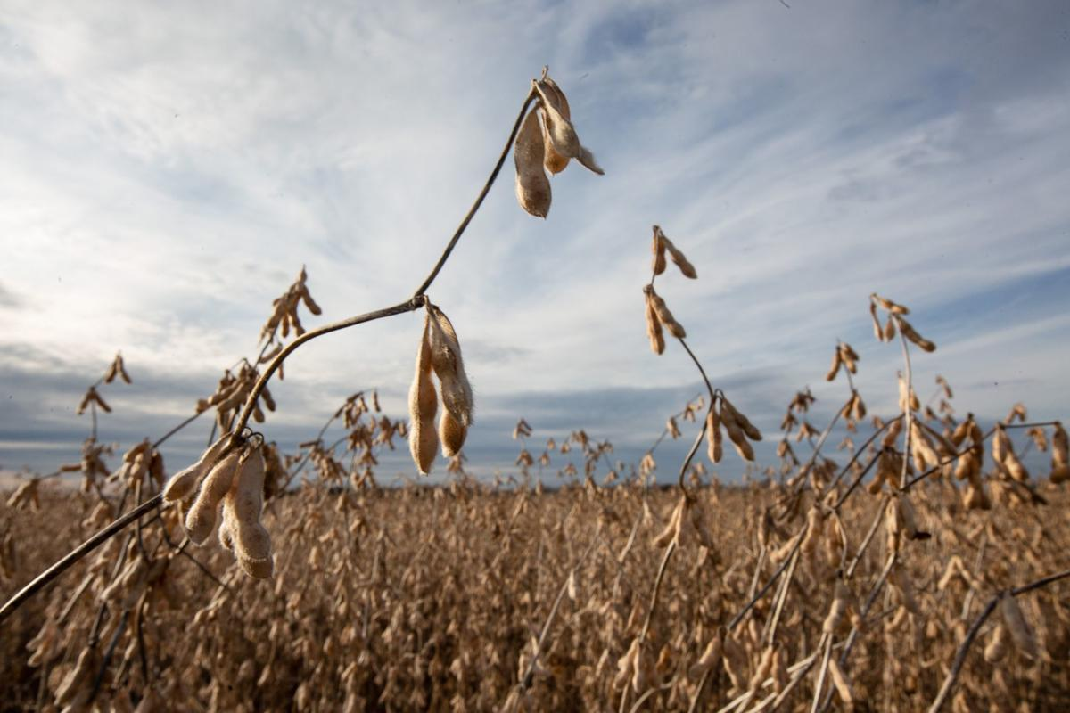 Dicamba affects local farmer's crop