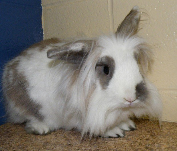 Brown and white lionhead rabbit - photo#48