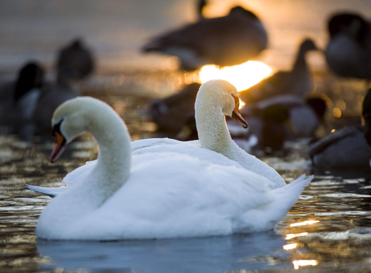 Swans Have Come Back >> A Swan Swat Team A Widower Swan Comeback Swans Some St Louis