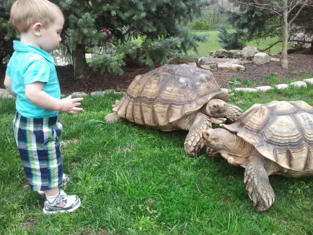 A Giant Tortoise Goes Missing In West County And Time Is