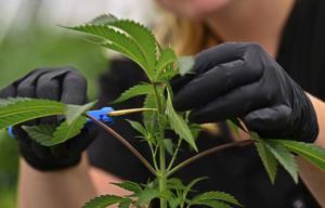 Missouri medical Topf Verkauf noch nicht begonnen, aber einige sind bereits beäugte vollständige Legalisierung
