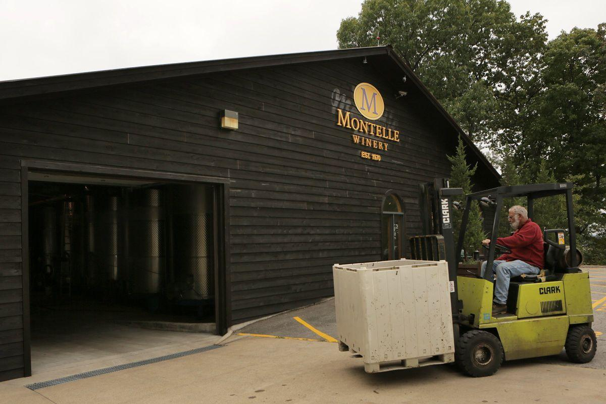 Chambourcin grapes harvested at Montelle Winery | Food and cooking | stltoday.com