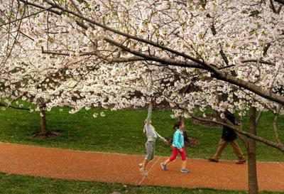 Botanical Garden cherry blossoms survive storms
