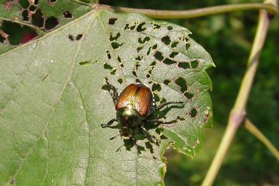 CD HO Beetle