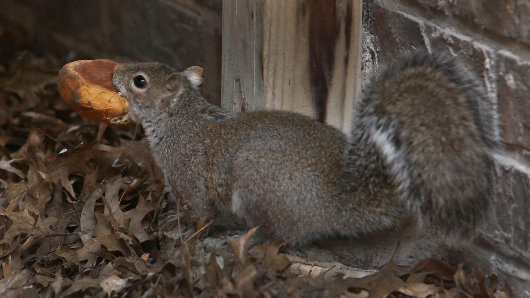 McClellan: Matching wits with Missouri squirrels
