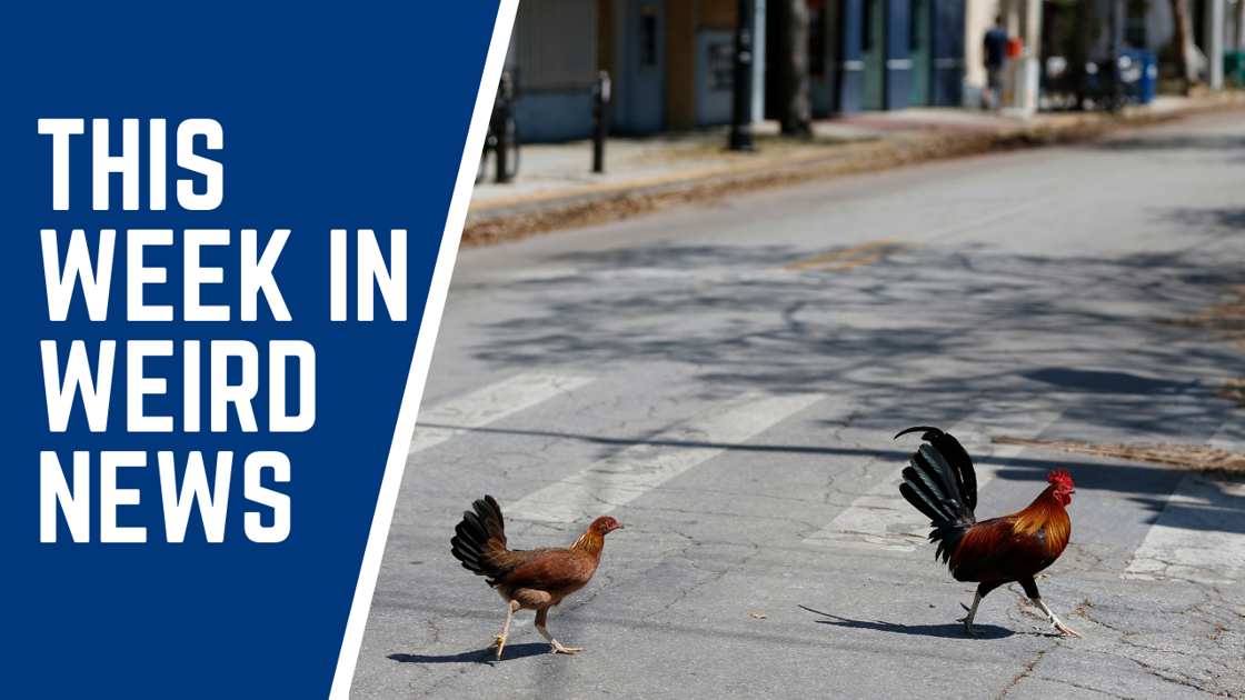 This week in weird news: Key West wants to ban people from feeding roaming chickens