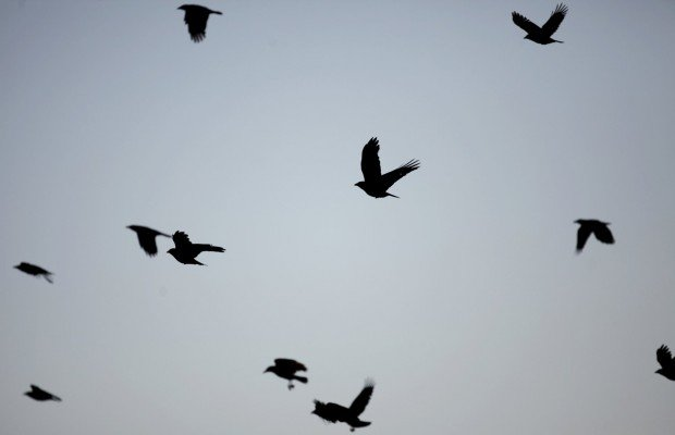 Crows in St. Louis