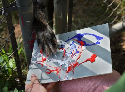 A penguin Picasso? A monkey Monet? St. Louis animals paint for training and fun, and you can buy their art