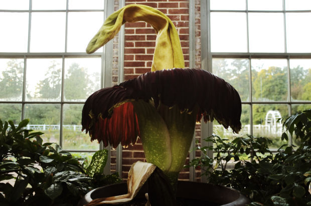 Corpse Flower Blooms At The Missouri Botanical Garden