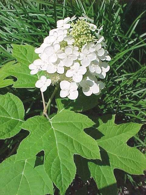 When to trim hydrangeas depends on the type of hydrangea