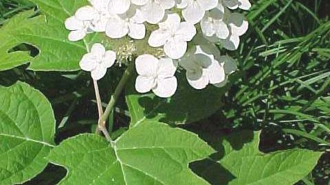 When to trim hydrangeas depends on the type of hydrangea