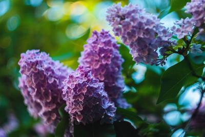 A lilac flowers blossom