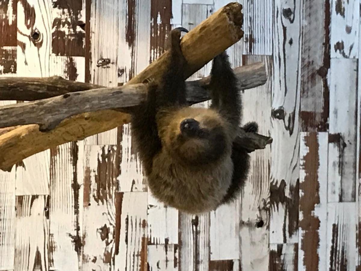 Coconut the sloth at the St. Louis Aquarium