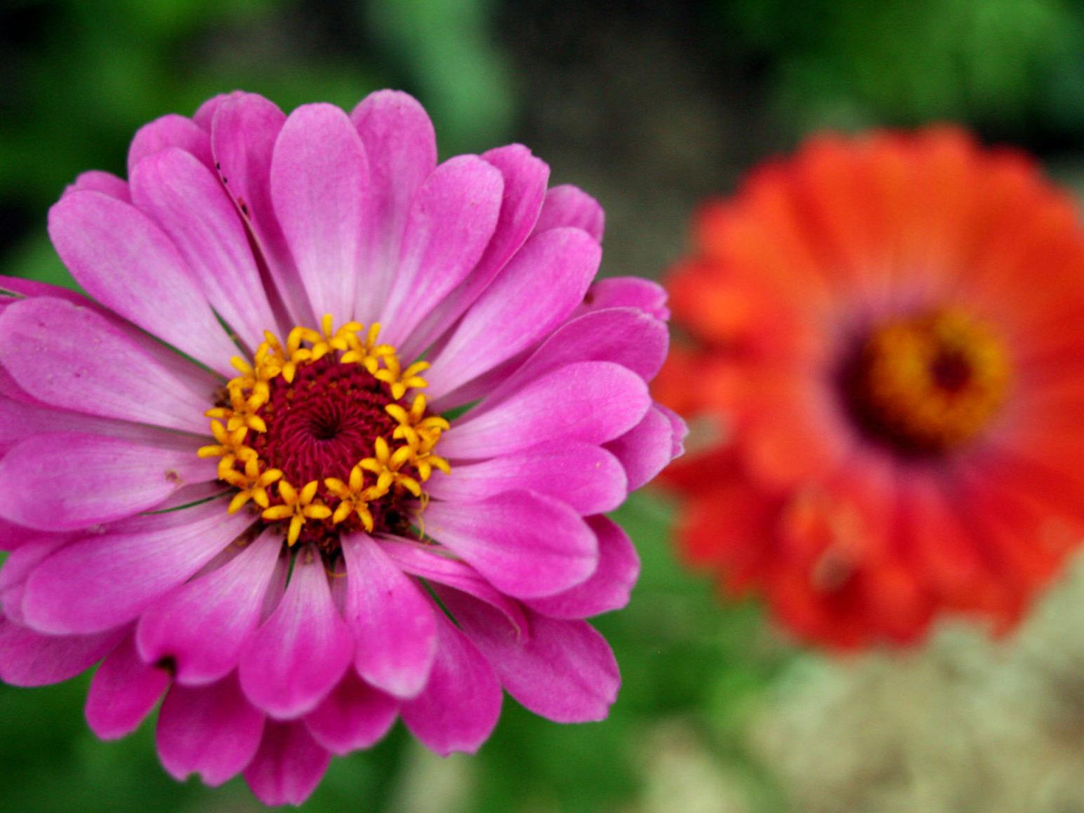Saving Zinnia Seeds Is Simple Home Garden Stltoday Com