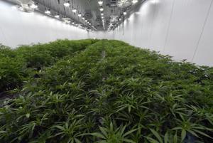 Ακόμη και πριν από το χόρτο είναι διαθέσιμη, άδειες για καλλιέργεια και πώληση μαριχουάνας στο Μισούρι είναι στο trading block