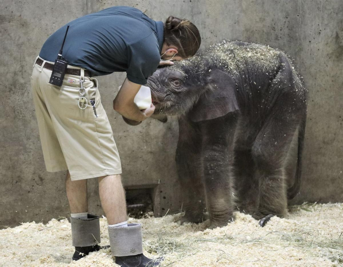 Elephant calf born at St. Louis Zoo
