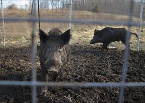 Missouri getötet, eine Rekordzahl von feral hogs in 2019. Und es könnte nicht genug sein.
