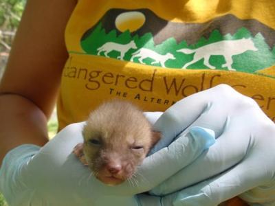 Swift fox kit at Endangered Wolf Center