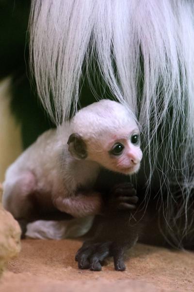 Family photos of baby colobus monkey at the Saint Louis Zoo