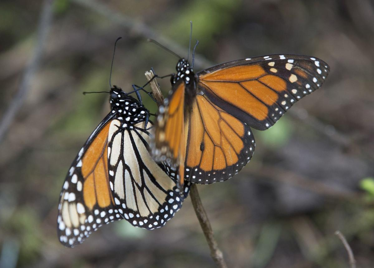 monsanto u0027s roundup blamed for the decline of the monarch butterfly