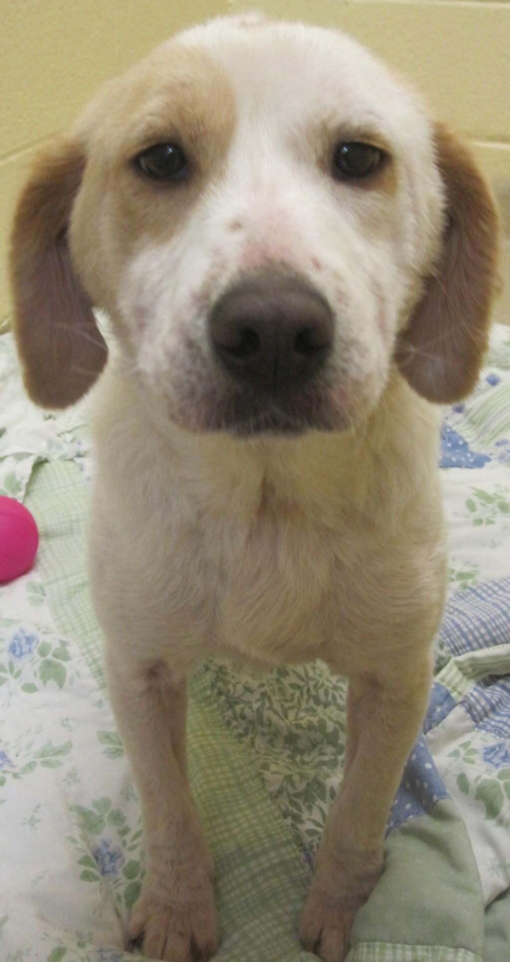 Pet Of The Week Ragdoll A Beagle Australian Cattle Dog Mix Pets Stltoday Com