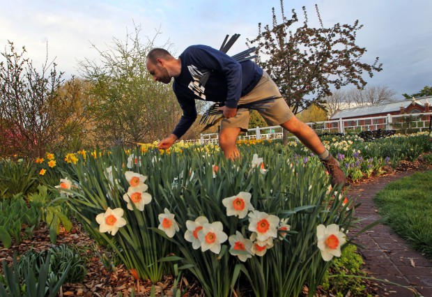 """Spring 2012- Jason Delaney with """"Ruby Throat""""  daffodils."""