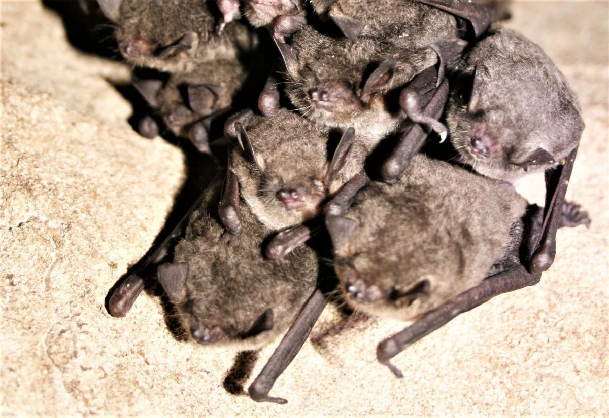 Cluster of gray bats