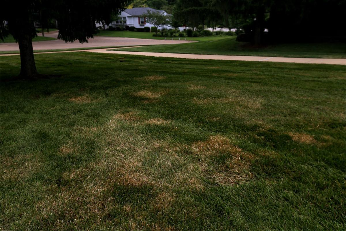 As 'brown patch' invades St  Louis lawns, even the experts surrender