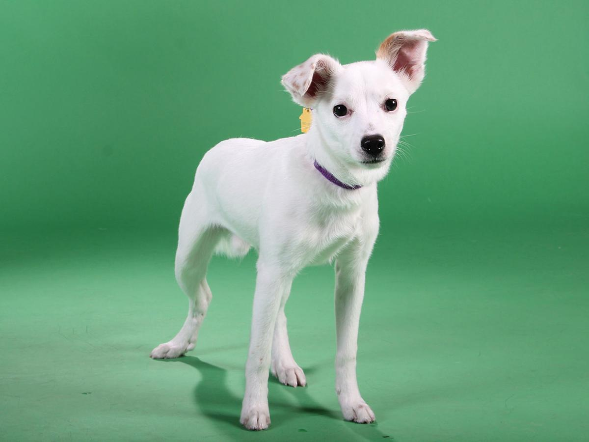 Pets Of The Week A German Shepherd Mix A Chihuahua Mix And A