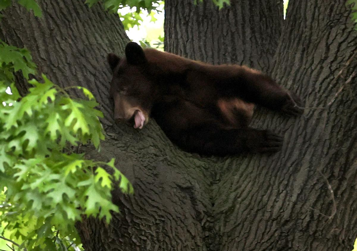 Bear roaming St. Louis County shot with a tranquilizer