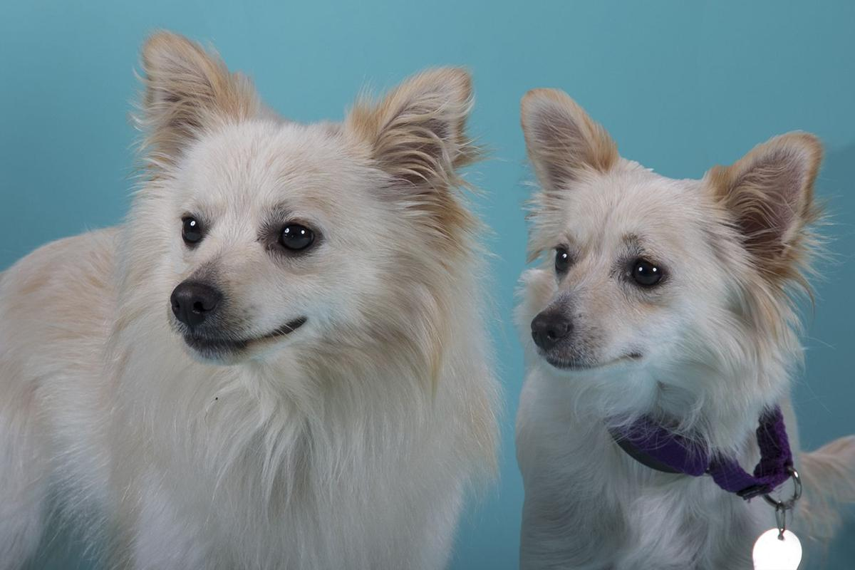 Pets Of The Week Pomeranian Pair A Terrier Mix And Siberian Husky