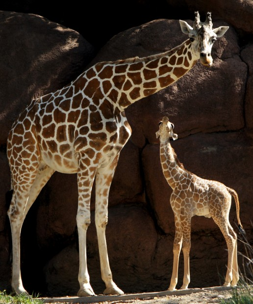 Baby Giraffe Debuts At St Louis Zoo Metro Stltoday Com