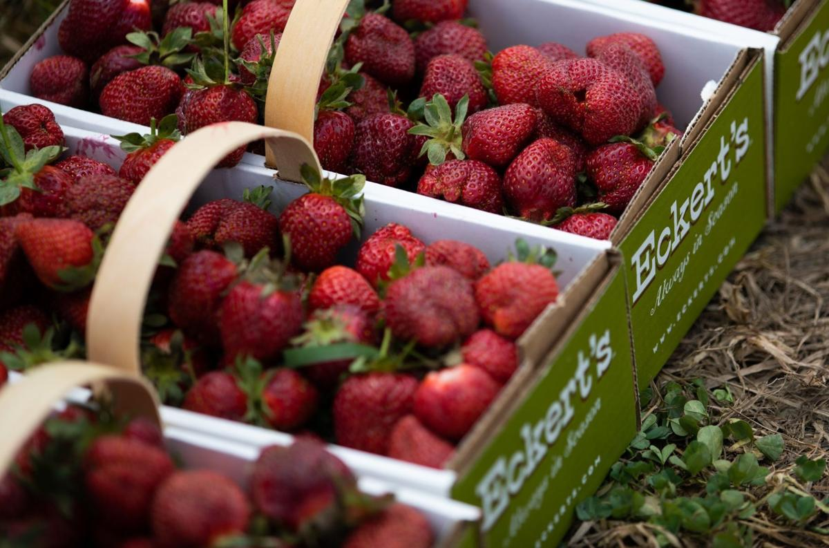 Sticky hands and smiles abound at Eckert's Strawberry Festival