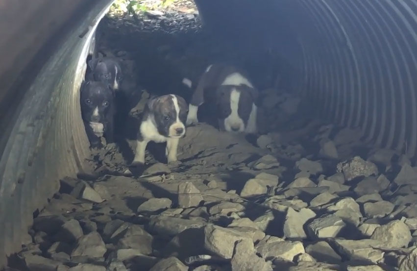 Puppies in a drain pipe rescued in St. Louis