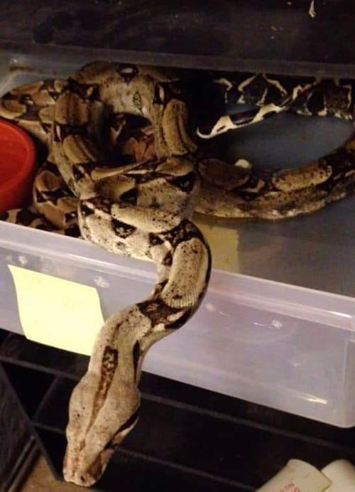 Boa constrictor stolen from Lemay shop