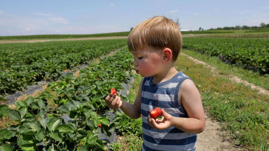 Sweet strawberry news: You can pick your own this weekend at Eckert's