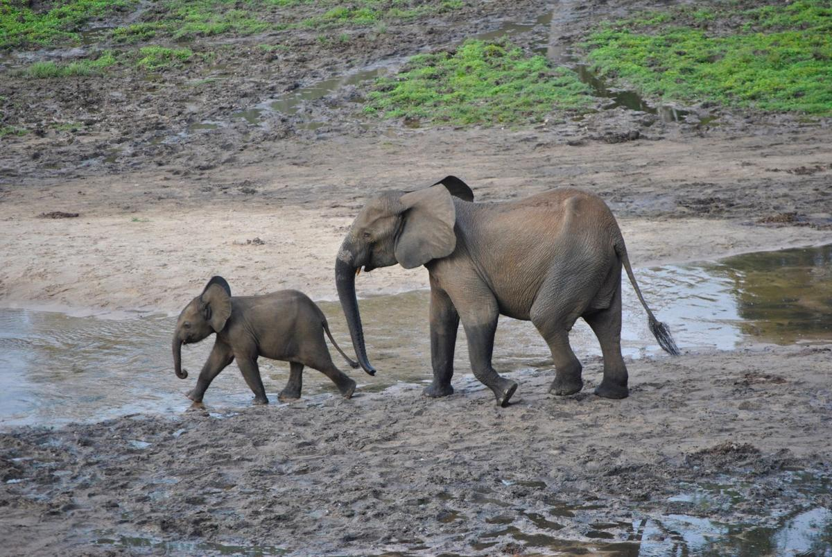 The Countering Wildlife Trafficking Institute uses mapping to combat wildlife trafficking, including elephants