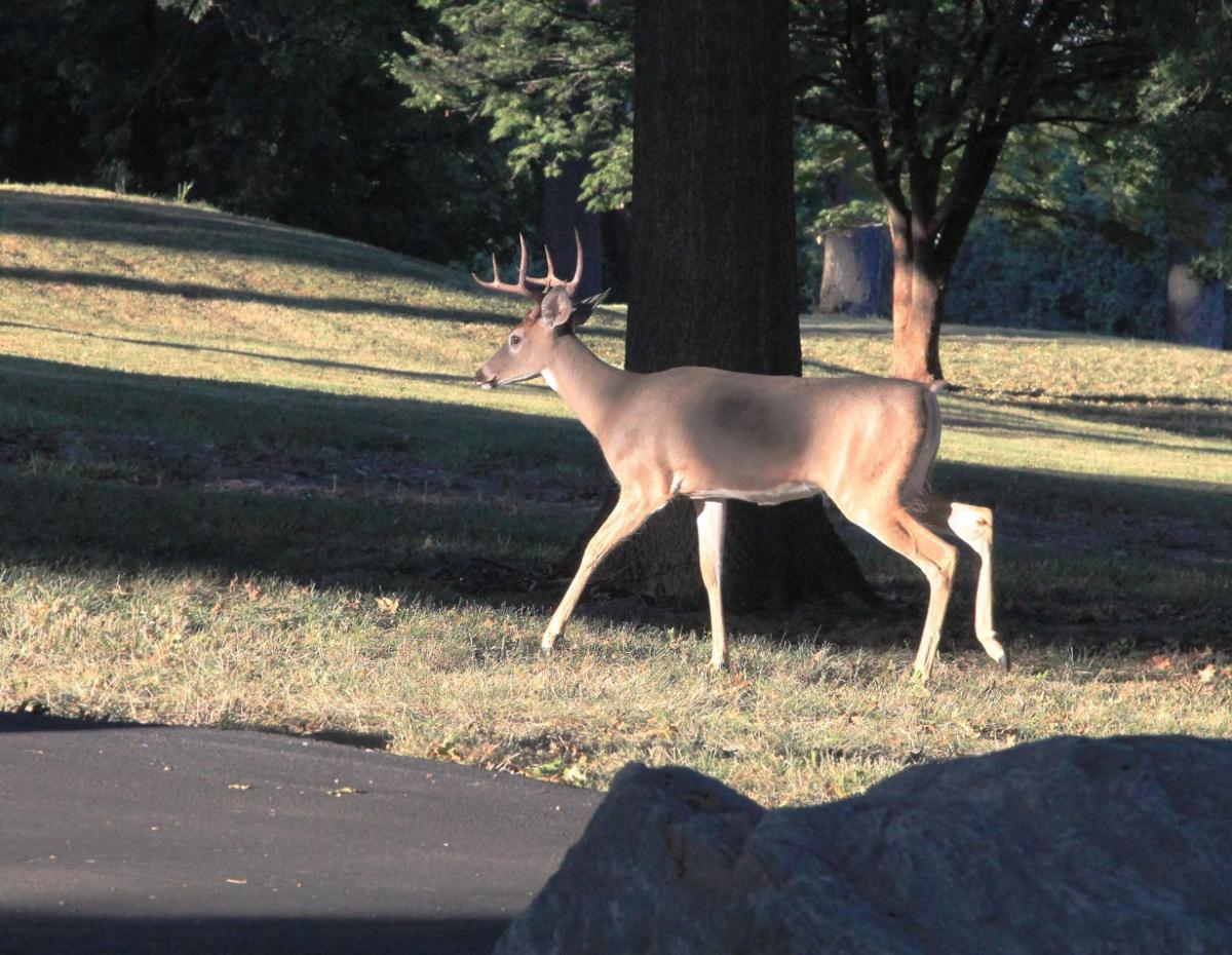 Father deer