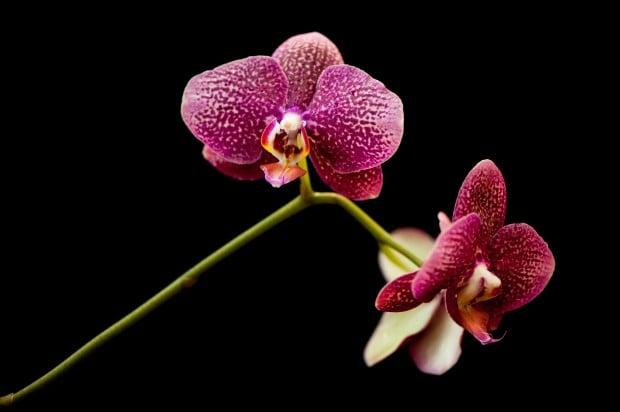 Doritaenopsis hybrid on display at Missouri Botanical Garden