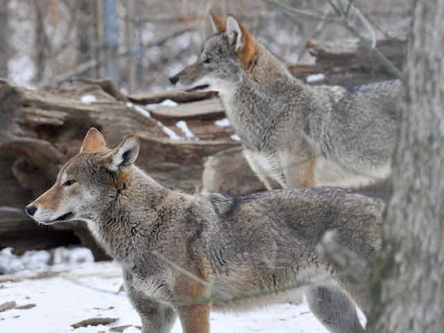 American red wolves