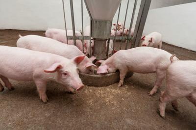 Pig environment