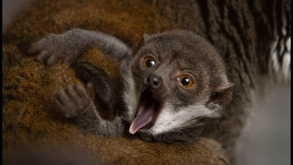 How the St. Louis Zoo taught a lemur to care for her babies