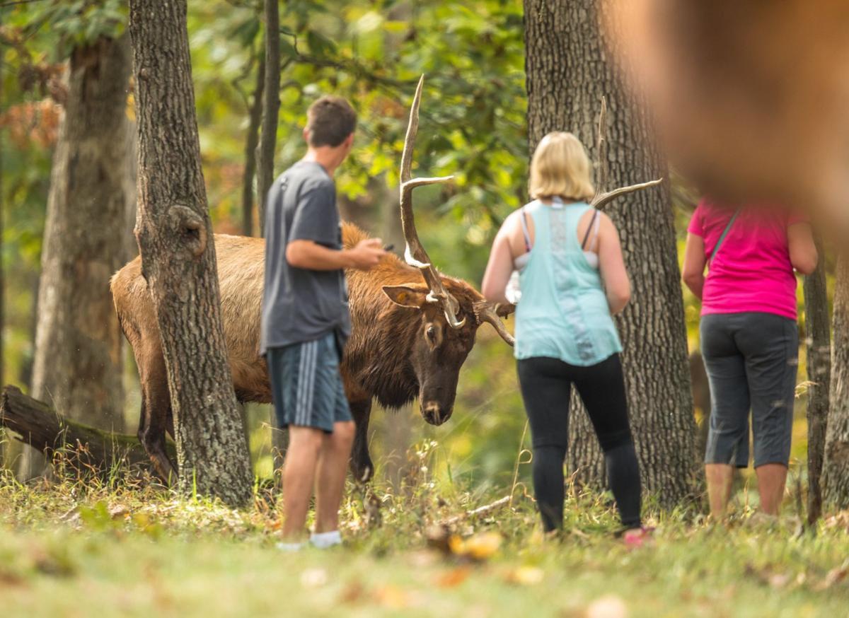 Mating season at Lone Elk Park can be dangerous for visitors